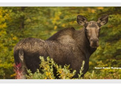 Plenty of wildlife on the Klondike Highway!